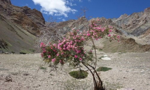 Zdjecie INDIE / Lamajuru / Lamajuru / Kwiat  pustyni