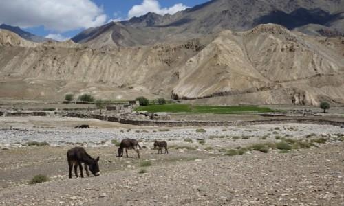 Zdjęcie INDIE / Lamajuru / Lamajuru  / Osiołki