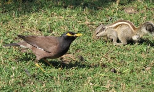 Zdjecie INDIE / Bharatpur / Park Narodowy Keoladeo / Pasecznik palmowy i majna brunatna