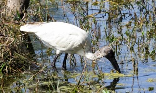 INDIE / Bharatpur / Park Narodowy Keoladeo / Ibis siwopióry