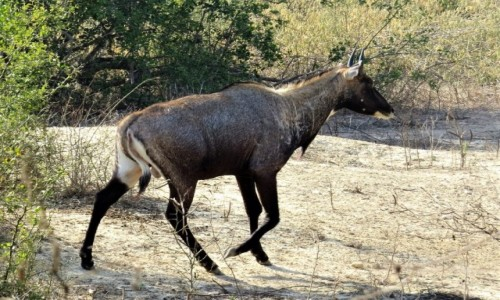 Zdjęcie INDIE / Bharatpur / Park Narodowy Keoladeo / Antylopa nilgau