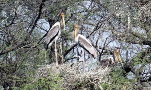 Zdjecie INDIE / Bharatpur / Park Narodowy Keoladeo / Dławigad indyjski