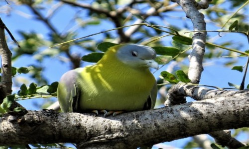 INDIE / Bharatpur / Park Narodowy Keoladeo / Treron złotoszyi