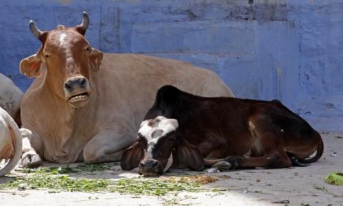 Zdjecie INDIE / Radzasthan / Jodhpure / Zwierzęta Indii 5