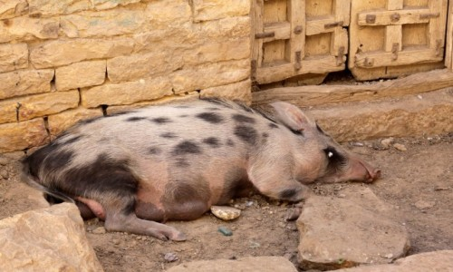 Zdjecie INDIE / Radzasthan / Jodhpure / Zwierzęta Indii 7