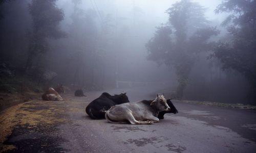 INDIE / brak / Dharamsala / Krowy na drodze do McLeodganj