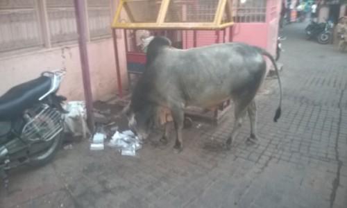 Zdjecie INDIE / Uttar Pradeś / Agra / Krowa czyscicielka :)