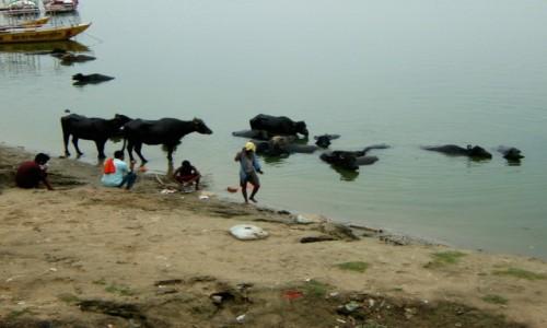 Zdjecie INDIE / Uttar Pradeś / Varanasi / Krowy też się kąpią na ghatach :)
