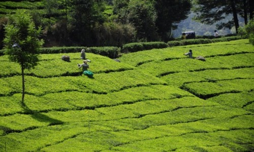Zdjecie INDIE / Kerala / Munnar / zbiory herbaty