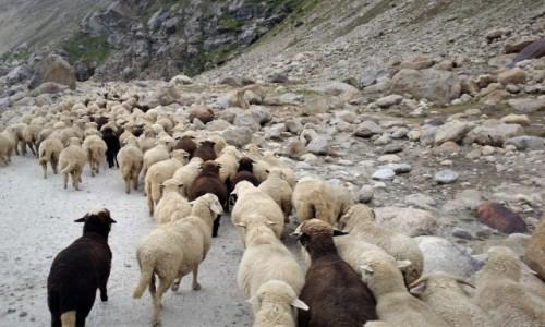 Zdjecie INDIE / Ladakh / dolina rzeki Ćanab / czarne owce na życzenie...