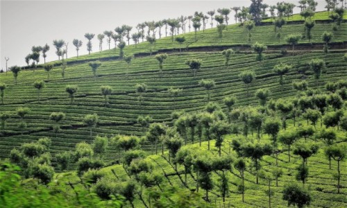 Zdjecie INDIE / Indie Południowe / Kerala / Żywa zieleń pól herbacianych