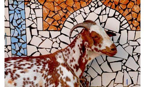Zdjecie INDIE / Kashmir / Śrinagar / Mozaika z kozą