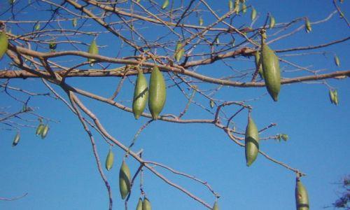 Zdjecie INDIE / brak / okolice Chennai / ogórki na drzewie
