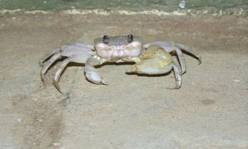 Zdjecie INDIE / Tamilnadu / plaża koło Majabalipuram / Taaaki krab!!!