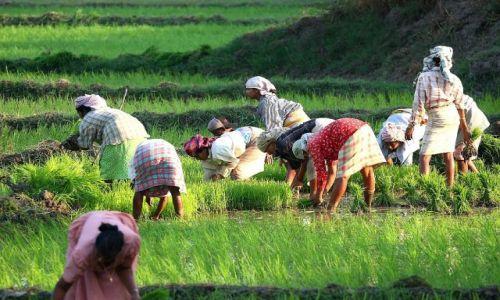 Zdjecie INDIE / Goa / Benalium / pola ryżowe