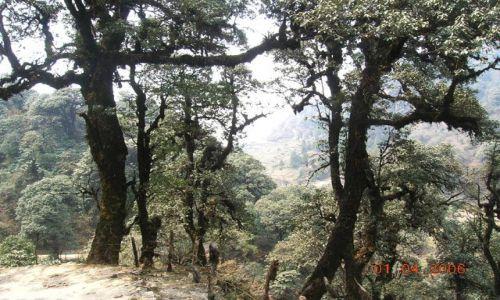 INDIE / Bengal Zachodni / trekking Sandakphu / himalajskie dęby