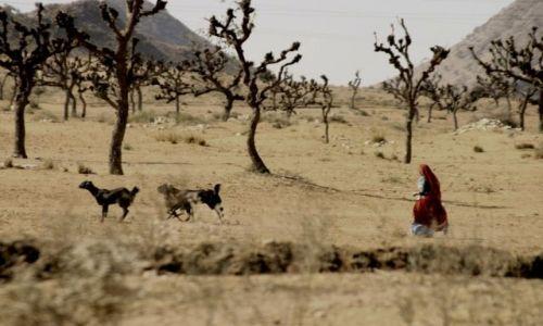 Zdjecie INDIE / Rajastan / w drodze do Jodhpur / za kozami
