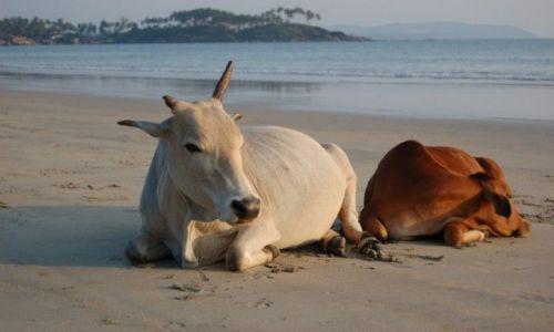 Zdjecie INDIE / Goa / Palolem / Święte krowy