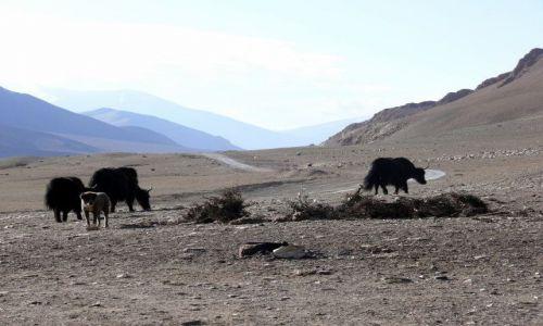 Zdjęcie INDIE / Himalaje / Ladakh / Yaki na Płaskowyżu Moray