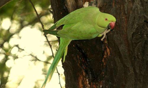 Zdjęcie INDIE / Bharatpur / Park Narodowy Keoladeo / Papużka