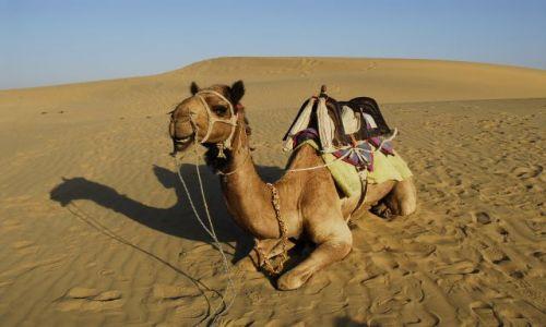 Zdjecie INDIE / Rajasthan / Thar Desert / wielblad