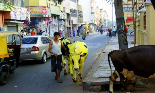 Zdjęcie INDIE / Bengalore / Bengalore / Malowane  krowy  w  Mieście