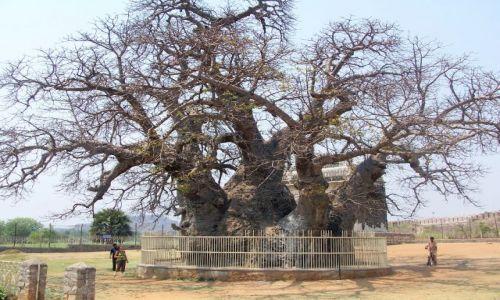Zdjęcie INDIE / Andrapradesh / Golkonda Fort / 700-letni baobab
