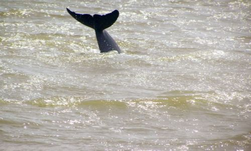 Zdjecie INDIE / Orissa / jezioro Chilka / Delfin