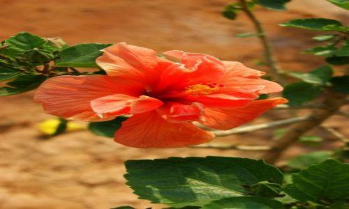 Zdjęcie INDIE / Chanai / Chanai / Kwiat