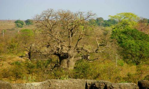 Zdjęcie INDIE / Godra / Godra / Prawie  Baobab