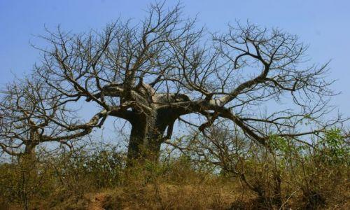 Zdjęcie INDIE / Mandi / Mandi / Baobab