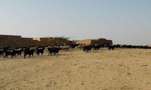 INDIE / Rajasthan / Jaisalmer - pustynia Thar / w drodze na safarii
