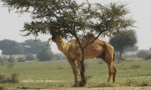 INDIE / Rajasthan / Jaisalmer - pustynia Thar / pustynne klimaty
