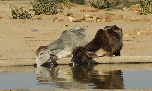 INDIE / Rajasthan / Jaisalmer - pustynia Thar / pragnienie
