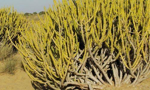 INDIE / Rajasthan / Jaisalmer - pustynia Thar / pustynna roślinność