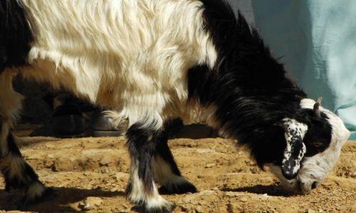 INDIE / Rajasthan / Jaisalmer - pustynia Thar / pustynne kozy