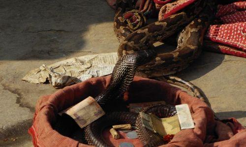 INDIE / Uttar Pradesh / Varanasi / kobra