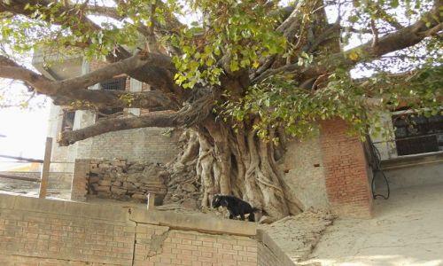 INDIE / Uttar Pradesh / Varanasi / wiekowa roślinność