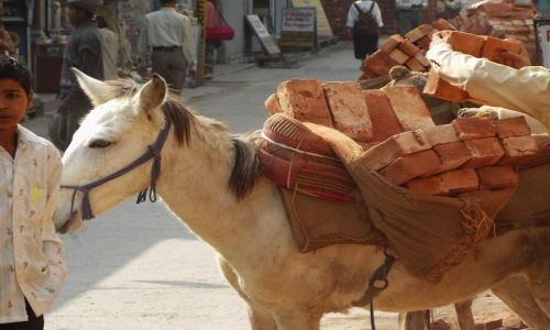 INDIE / Uttaranchal / Rishikesh / osiołki transportowe