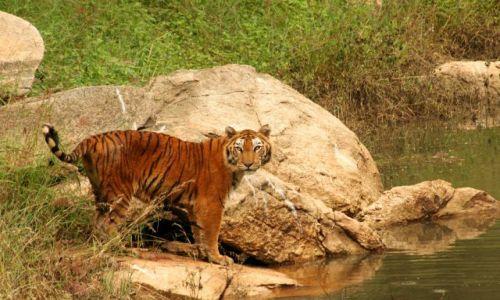 Zdjecie INDIE / Karnataka / Bangalore / co tygryski lubią najbardziej ...na obiad