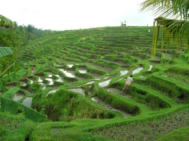 Zdjęcia: Za Ubud -- w strone gor, Bali, Pola ryzowe na Bali, INDONEZJA
