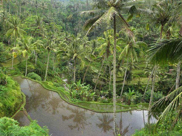 Zdjęcia: Tampaksiring, okolice Gunung Kawi, Bali, Tarasy ryżowe 2, INDONEZJA