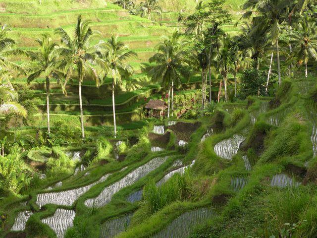 Zdjęcia: okolice Tagalalang, Bali, Konkurs - biwak nad tarasami ryżowymi, INDONEZJA