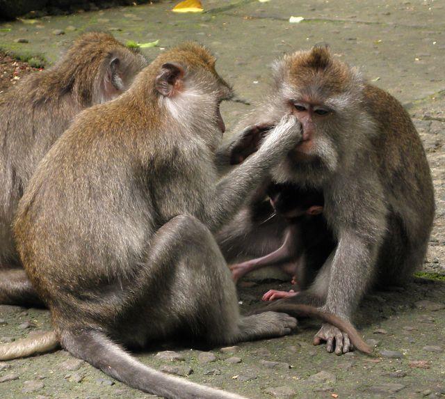 Zdjęcia: Ubud, Monkey Forrest, Bali, Małpy z Ubud 1, INDONEZJA