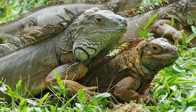 Zdjęcia: Park Ptaków i Gadów, Bali, Iguany, INDONEZJA