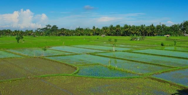 Zdjęcia: Ubud, Bali, Pola ryżowe przed hotelem Tegal Sari-Ubud(Bali), INDONEZJA
