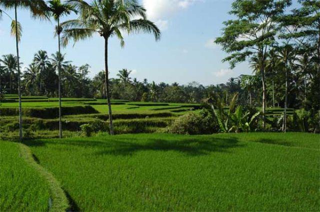 Zdj�cia: centrum wyspy, Bali, Pola ry�owe, INDONEZJA