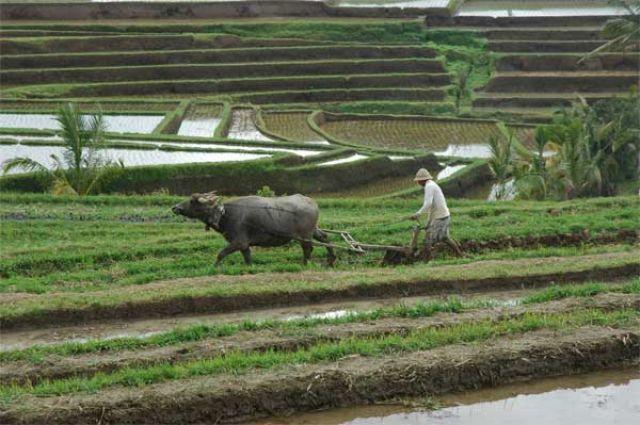 Zdjęcia: centrum wspy, Bali, Pola ryżowe, INDONEZJA
