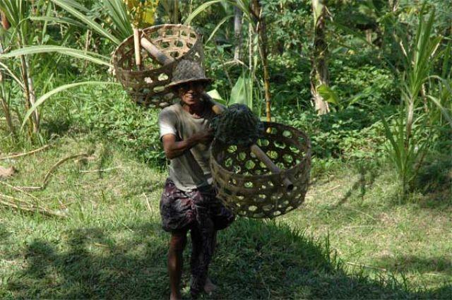 Zdjęcia: centrum wyspy, Bali, Zbieracz trzciny, INDONEZJA