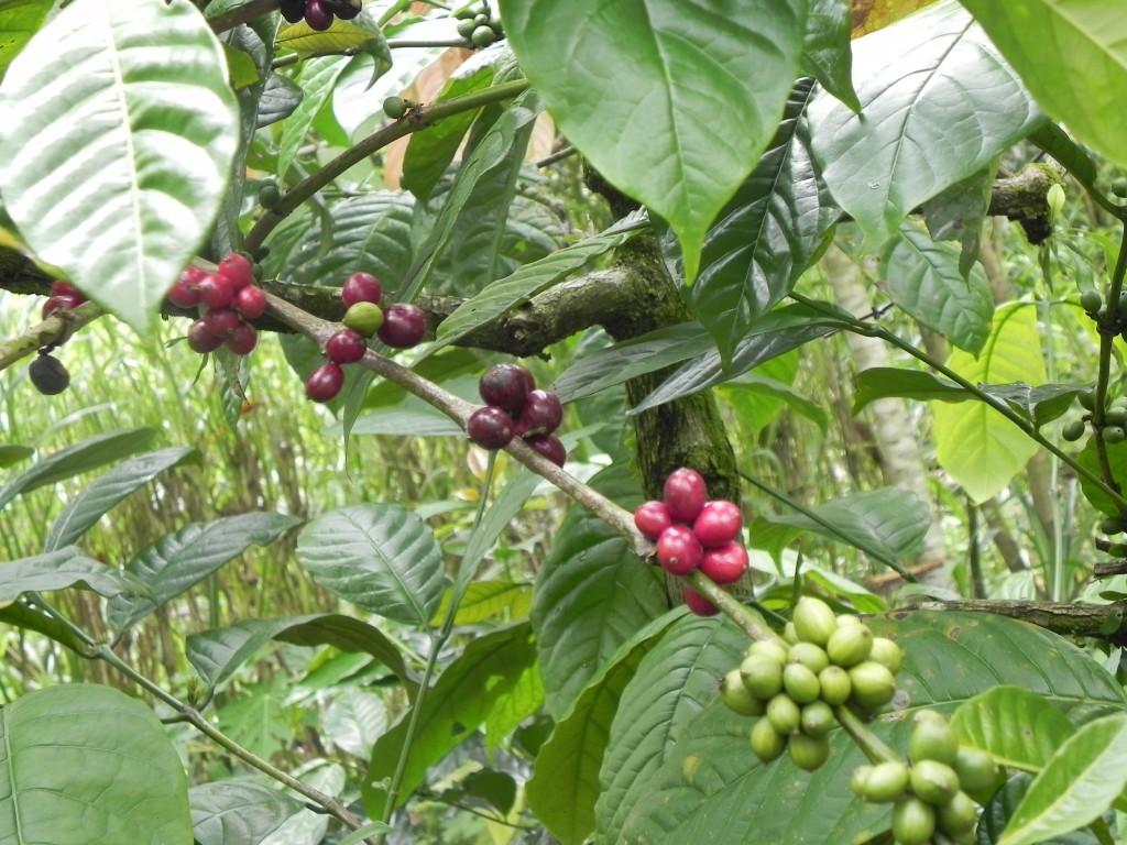 Zdjęcia: ..., Bali, kawa , INDONEZJA